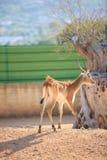 Kafue sänker Lechwe hjortar arkivfoto