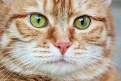 Kagana czerwony kot z czujny zielonych oczu gapić się z bliska Selekcyjna ostrość fotografia stock