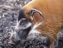 Kagana knura zbliżenie Wielkie męskie krzak świnie patrzeje dla jadalnych korzeni iść w ziemię Obrazy Stock