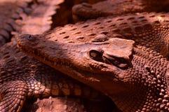 Kaganiec estuarine krokodyle Zdjęcia Royalty Free