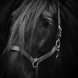 Kaganiec koń. fotografia stock