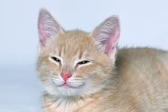 Kaganiec śliczna urocza czerwona figlarka Fotografia Royalty Free