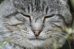 Kaganiec przysypia kota Obrazy Royalty Free