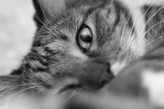 Kaganiec szarość paskował domowego kota zakończenie Fotografia Royalty Free