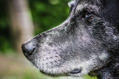 Kaganiec szary sheepdog Obrazy Stock