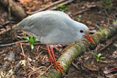 Kagu, endangered bird of New Caledonia Royalty Free Stock Images