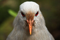 Kagu, endangered new caledonian bird look at you. The bird looks at the camera. Kagu (Rhynochetos jubatus) is a tame grey bird of New Caledonia, now endangered Stock Images
