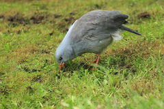 Kagu Stock Photo