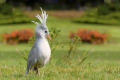 Kagu jest czubaty, długonogi i popielaty ptasi endemiczny, zwarci halni lasy Nowy Caledonia obrazy stock