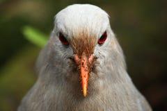 Kagu, nueva mirada caledonia en peligro del pájaro en usted Imagenes de archivo
