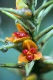 kahili姜的豪华的种子 免版税图库摄影