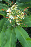 Kahili Ginger flower (Hedychium gardnerianum) Stock Photo