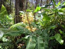 Kahili Ginger Flowers. On the Big Island, Volcano, Hawaii Royalty Free Stock Images