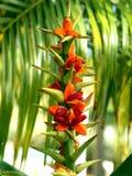 Kahili Ginger Plant Royalty Free Stock Photo