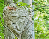 Kahl-gesichtiger Hornissen-Bienenstock Lizenzfreie Stockfotos