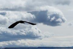 Kahl werdend Adler im Flug Lizenzfreie Stockbilder