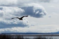 Kahl werdend Adler im Flug Lizenzfreie Stockfotografie