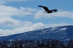 Kahl werdend Adler im Flug Stockfotos