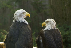 Kahle Adler Stockbild