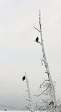 Kahle Adler gehockt auf Zweig Lizenzfreie Stockfotografie