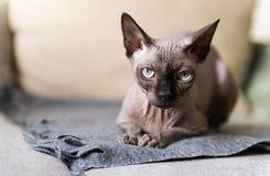 1 kahle Katze, die auf der Couch, Kanadier Sphynx, Katzenaugen liegt lizenzfreie stockfotos