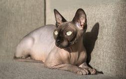 Kahle Katze von Zucht der Kanadier Sphynx liegt auf dem Sofa und den Blicken zur Seite stockbild