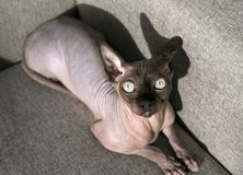 Kahle Katze von Zucht der Kanadier Sphynx liegt auf dem Sofa und schaut oben stockbilder