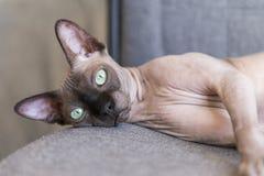 Kahle Katze von Zucht die kanadische Sphinx mit grünen Augen liegt auf einer Seite, das Haustier lizenzfreie stockfotos