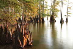 Kahle Zypresse-Bäume am Wasser bei Sonnenuntergang Lizenzfreie Stockfotos
