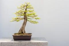 Kahle Zypresse-Bonsais Lizenzfreies Stockbild