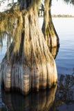 Kahle Zypresse des ungewöhnlichen Fasses (Taxodium distichum) lizenzfreie stockbilder