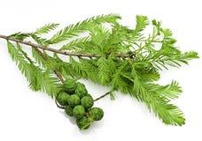 Kahle Zypresse-Kegel und Blätter Stockfotos