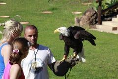Kahler Adler auf der Hand eines Falkners Lizenzfreie Stockbilder