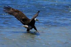 Kahler Adler auf Sandquerneigung mit Fischen Stockfoto
