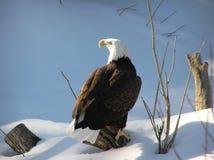 Kahler Adler auf Schnee Stockbild