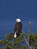 Kahler Adler auf Treetop Stockfotos