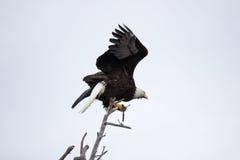 Kahler Adler, der auf altem Zweig sitzt Stockfoto