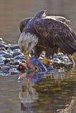 Kahler Adler, der auf den Lachsen speist Lizenzfreies Stockbild