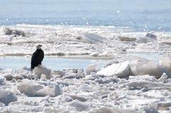 Kahler Adler, der auf Eis sitzt Stockfotos