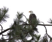 Kahler Adler in einem Baum. Lizenzfreie Stockfotografie