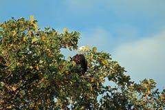 Kahler Adler in einem Baum lizenzfreies stockfoto