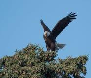Kahler Adler in einem Baum Stockfotos