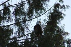 Kahler Adler in einem Baum Stockfotografie