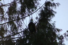 Kahler Adler in einem Baum Stockbilder