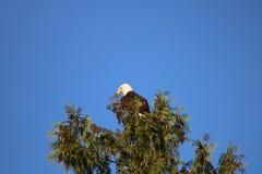 Kahler Adler in einem Baum Stockfoto