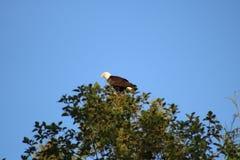 Kahler Adler in einem Baum Lizenzfreie Stockbilder