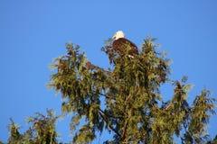 Kahler Adler in einem Baum Stockbild