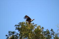 Kahler Adler in einem Baum Lizenzfreie Stockfotos