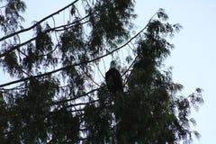 Kahler Adler in einem Baum Lizenzfreies Stockbild