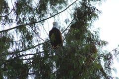 Kahler Adler in einem Baum Lizenzfreie Stockfotografie
